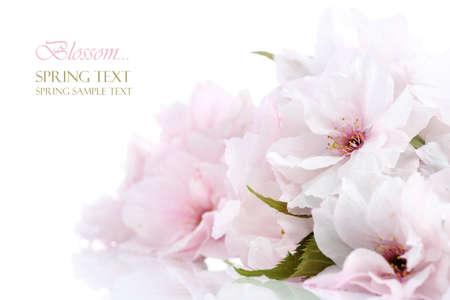 cerezos en flor: Frontera de cerezos en flor con espacio de copia Foto de archivo