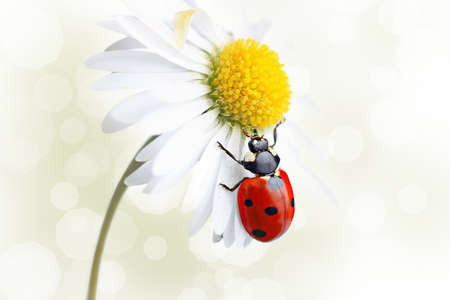 Ladybird Coccinellidae on daisy flower photo