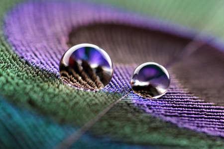 pluma de pavo real: Gotas de agua en plumas de pavo real