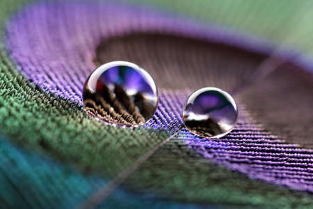 macro animals: Water droplets on peacock feather