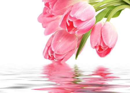 tulipa: Pink tulips with water reflection and copy space
