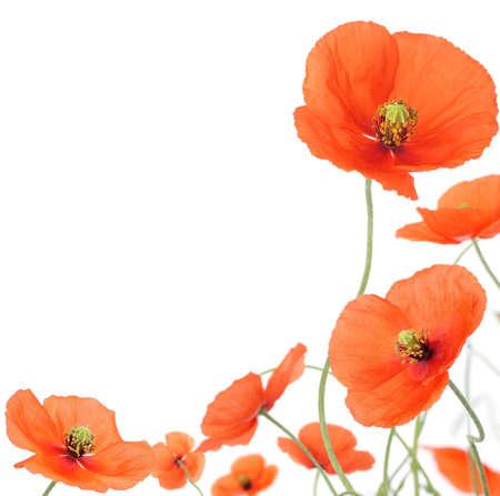 fleurs des champs: Coquelicots Banque d'images