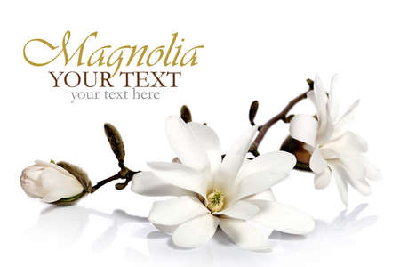 Magnolia flower border photo