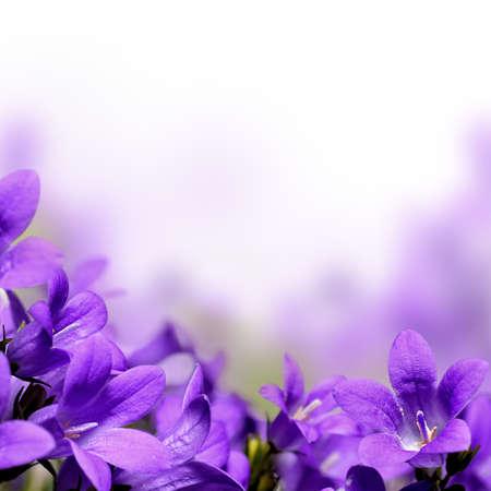 violeta: Campanula primavera de flores de la frontera Foto de archivo