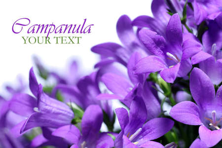 flor morada: Campanula primavera de flores de la frontera Foto de archivo