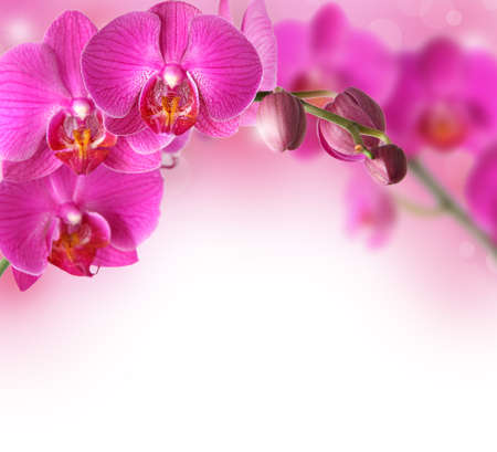 pink orchid: Orchids design border