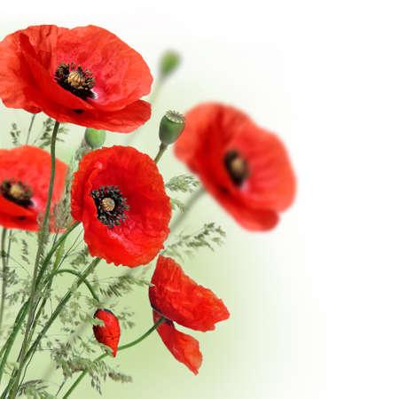 Coquelicots fleurs frontière