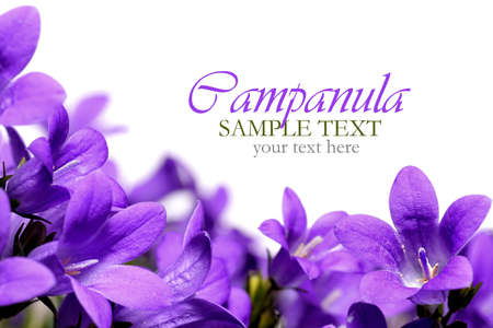 Campanula spring flowers border photo