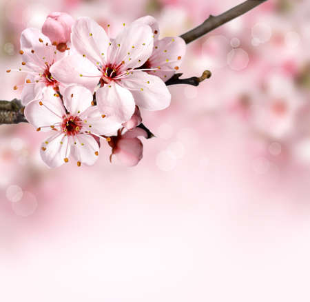 flowers bokeh: Spring background border with pink blossom Stock Photo