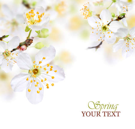 Spring blossom background with white flowers 版權商用圖片 - 18852170