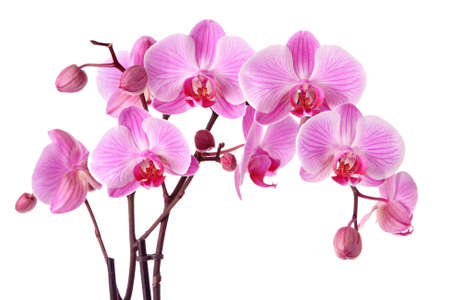 Purple orchids isolated on a white background 스톡 콘텐츠