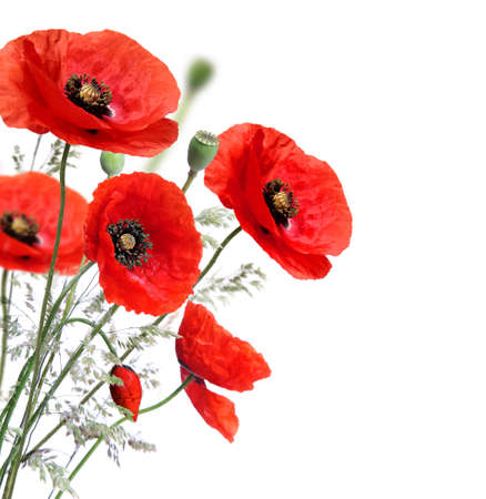 poppy flowers: Poppy flowers isolated on a white