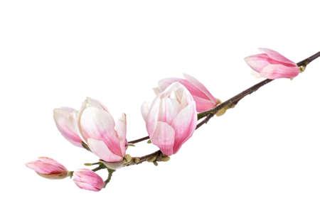 Magnolia flower branch photo