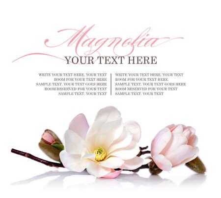 Fiore di magnolia su uno sfondo bianco Archivio Fotografico - 27286680