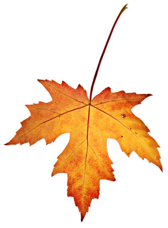 'leaf fall': Orange fall leaves, isolated on a white background