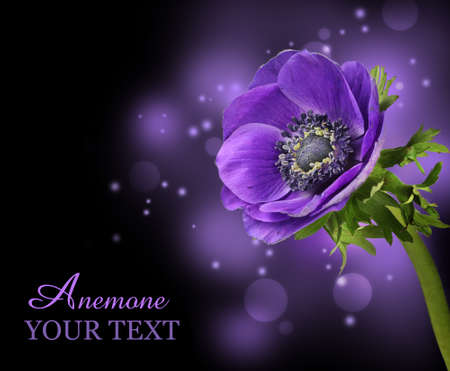 anemone flower: Purple anemone flower design background Stock Photo