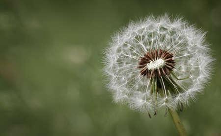 タンポポの花とお悔やみや同情のデザイン