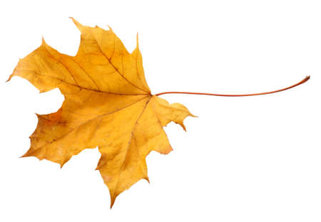 Fall leaf isolated on a white background Standard-Bild