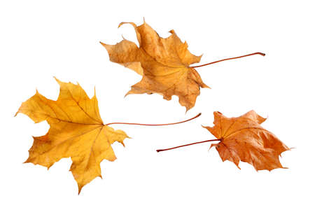 brown backgrounds: Fall leaves isolated on a white background
