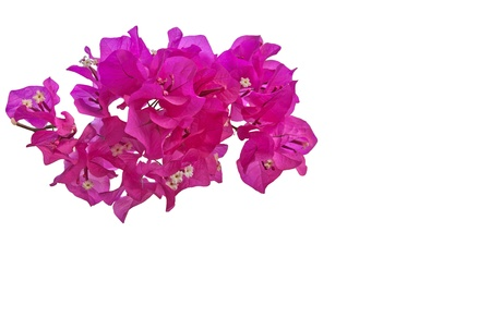 Pink Bougainvillea on white background