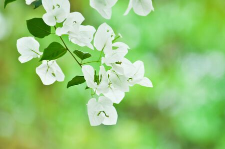 White paper flower or Bougainvillea close-up, selective focus photo