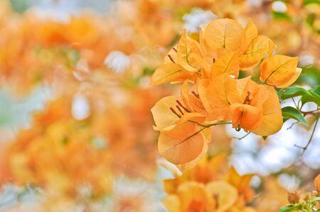 Bougainvillea, Paper flower photo