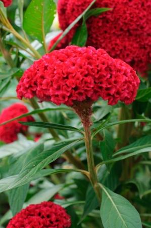 cockscomb: plumed cockscomb flower, closeup