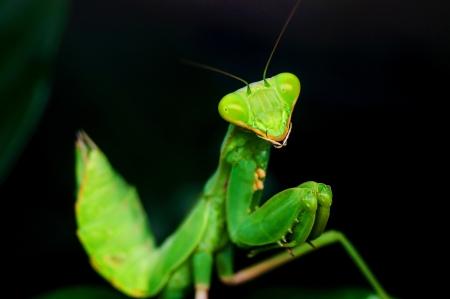 mantis: mantis mantis