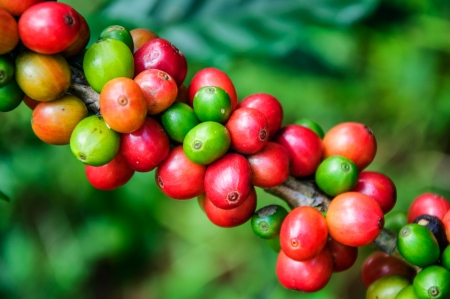 coffee harvest: Coffee beans on tree in farm Stock Photo