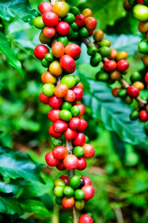 Coffee beans on tree in farm Stock Photo
