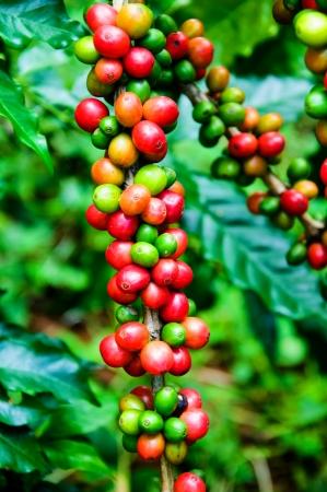 Koffiebonen op boom in boerderij