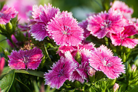 dianthus: Dianthus Chinensis Flowers Stock Photo