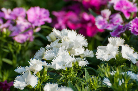 Dianthus Chinensis Flowers photo