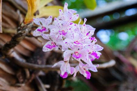 orchid thai: Bella viola Thai Orchid Archivio Fotografico