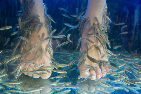 doctor fish: Fish spa pedicure wellness skin care treatment with the fish rufa garra, also called doctor fish, nibble fish and kangal fish.