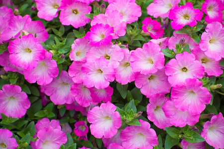 petunias: Beautiful pink petunias in full bloom