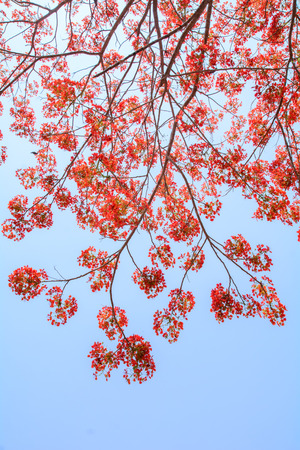 Beautiful peacock flowers with blue sky,Thailand