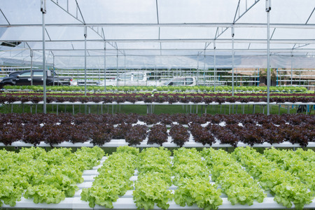 non toxic: Hydroponic vegetables growing in greenhouse, vegetables non toxic