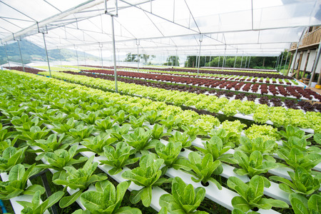 Hydroponic Vegetables Growing In Greenhouse, Vegetables Non Toxic Stock  Photo   64988787
