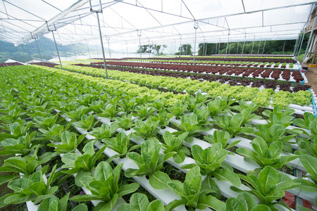 Hydroponic vegetables growing in greenhouse, vegetables non toxic
