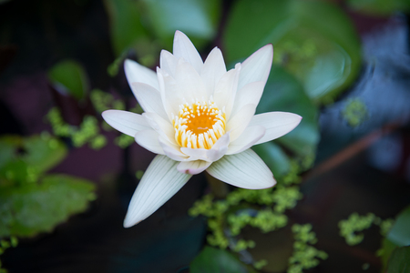 beauty lotus flower in pond