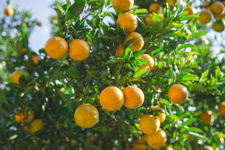 Shogun In A Fully Ripe Garden Ready To Eat. Orange Is A Natural ...
