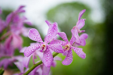 close up beautiful Thai orchids. 版權商用圖片