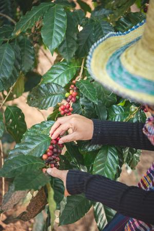 Coffee beans on tree in farm 版權商用圖片