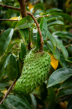 Annona muricata L.Soursop herbs that are capable of treating cancer. Stock Photo