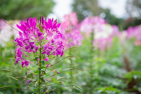 colorful pink cleome spinosa or spider flower in garden Stock Photo