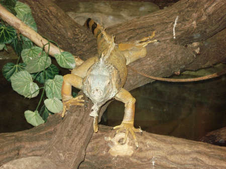 defiance: Picture of an iguana approaching the camera Stock Photo