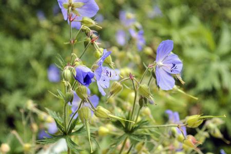 Purple Wildflower at Berlin, named Geranium Pratense