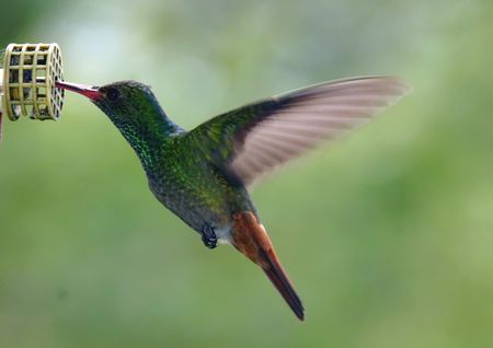 Rufous-tailed Hummingbird Stock Photo