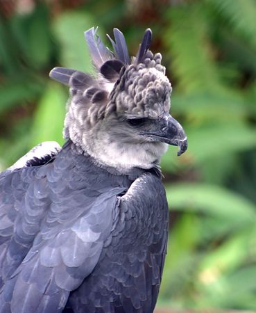 Harpy Eagle Stock Photo